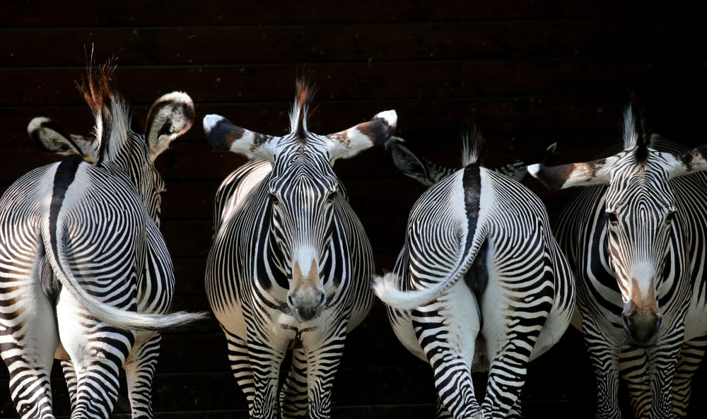 Zebras no jardim zoológico de Augsburg, no sul da Alemanha