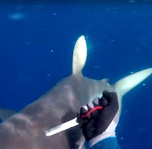 Não toque em meu atum! Mergulhador enfrenta tubarões para salvar seu pescado