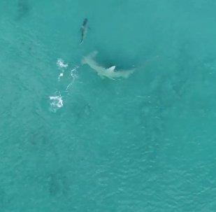 Giant Hammerhead Sharks Hunting Blacktip Sharks - 4K