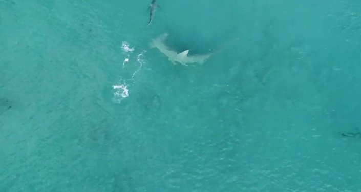 Giant Hammerhead Sharks Hunting Blacktip Sharks - 4K