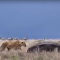 É o que acontece quando uma leoa perturba um hipopótamo dormindo