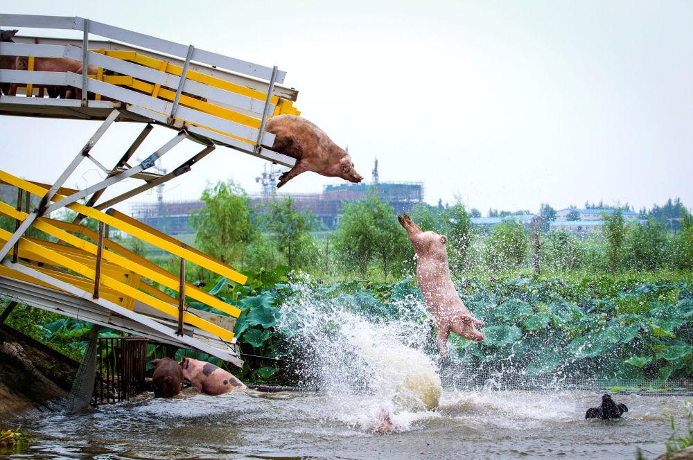 Porcos saltam para a água durante exercícios diários em uma granja chinesa