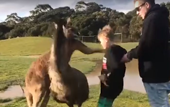 Canguru ataca criança de surpresa