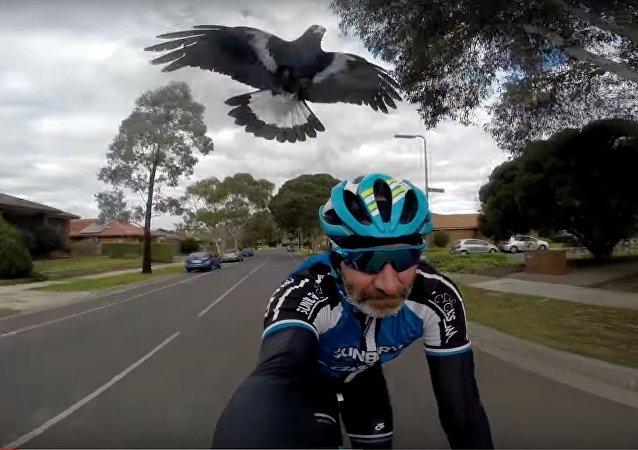 Ciclista é atacado por... pássaro furioso