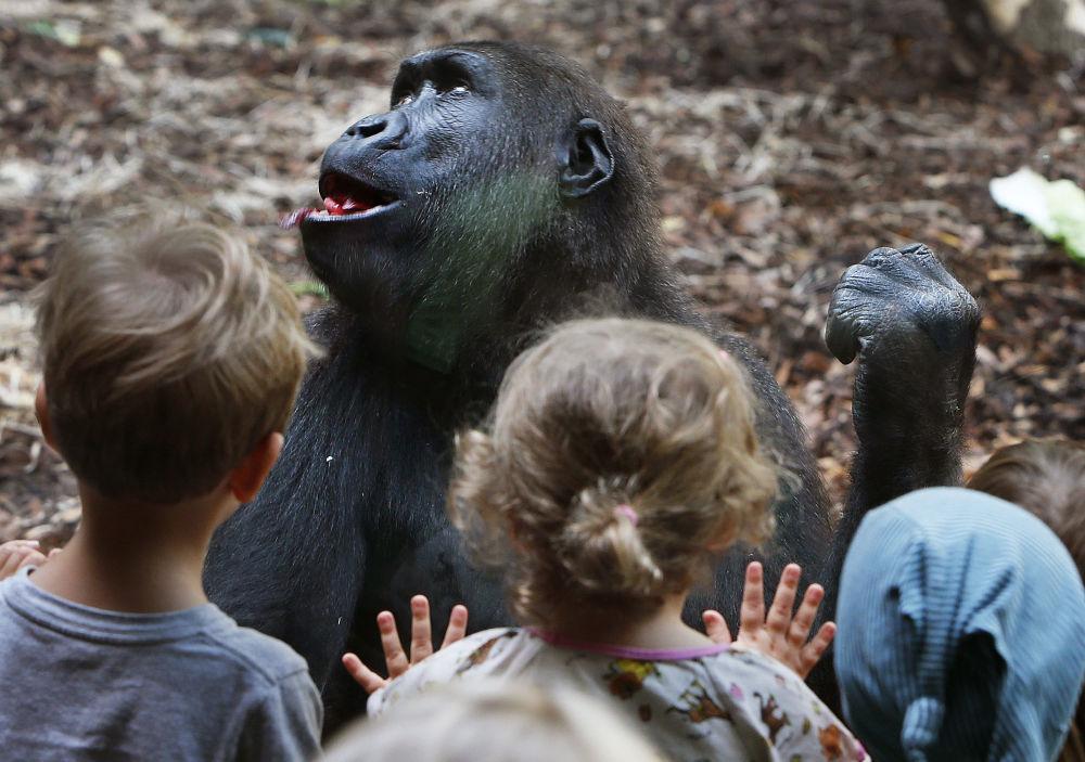 Crianças observam gorila no Jardim Zoológico de Frankfurt, Alemanha