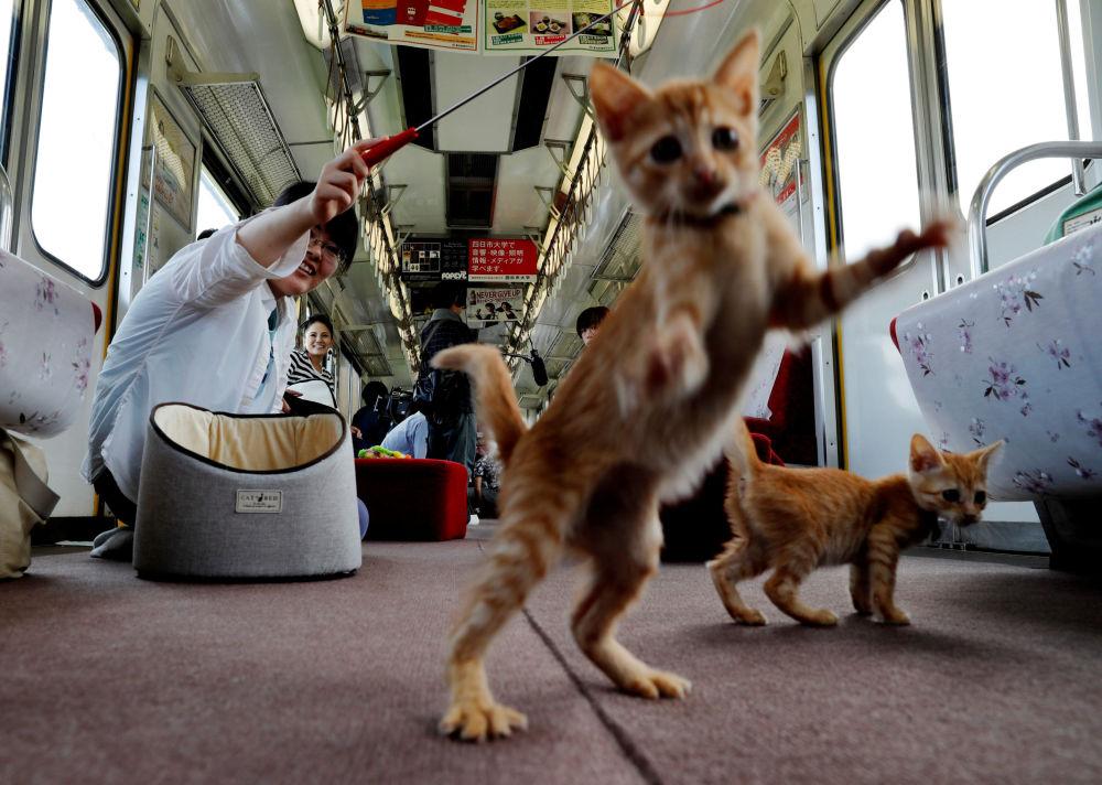 Passageiro brinca com gatos em um trem especial para gatos no Japão