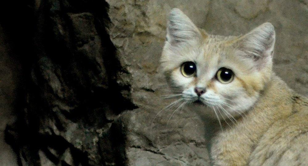 Gato-do-deserto