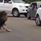 Leão no parque nacional Kruger, África do Sul
