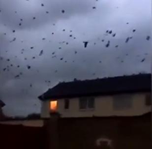 Bando de corvos inivade Irlanda