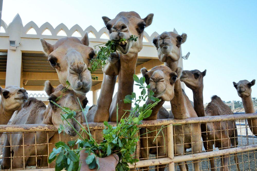 Granja real de camelos no Bahrein