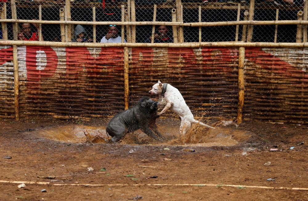 Luta entre cachorro e javali na província de Java Ocidental