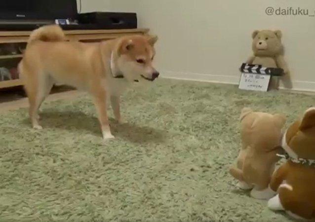 Cachorro fica furioso com boneco que imita seus latidos
