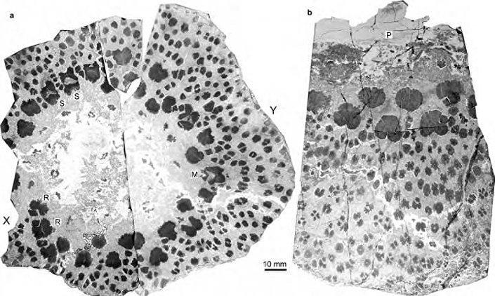 Radiografia da possível árvore mais antiga da Terra