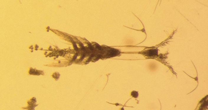 Artrópode Monstrillopsis planifrons, descoberto por cientistas nas águas do Ártico