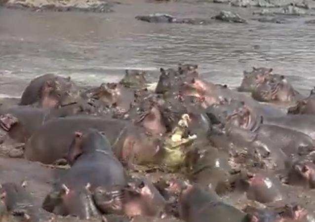 Hipopótamos atacam aligátor