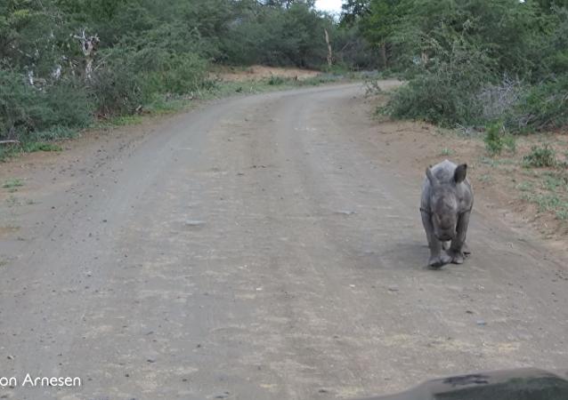 Filhote de rinoceronte ataca carros com turistas