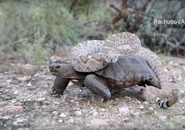 Carona perigosa: cobra venenosa monta tartaruga