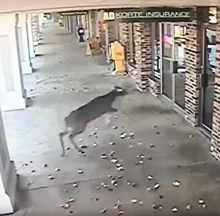 Cervo entra às pressas em barbearia