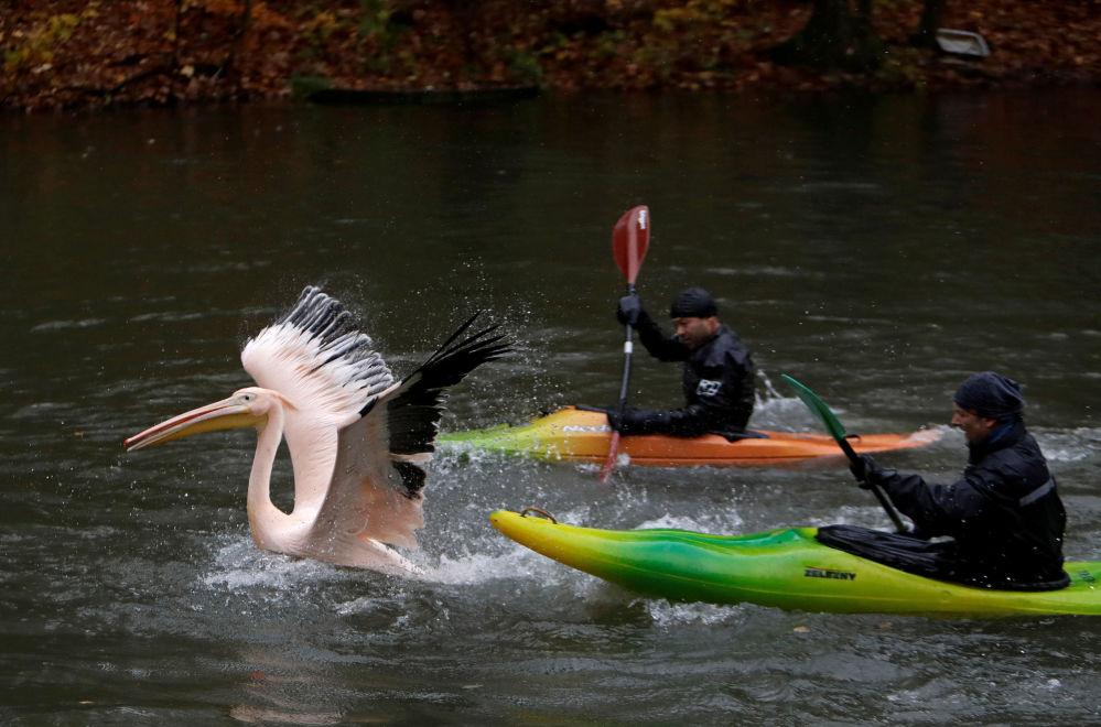 Funcionários do Jardim Zoológico tcheco tentam apanhar um pelicano para mudá-lo para o local preparado para passar o inverno