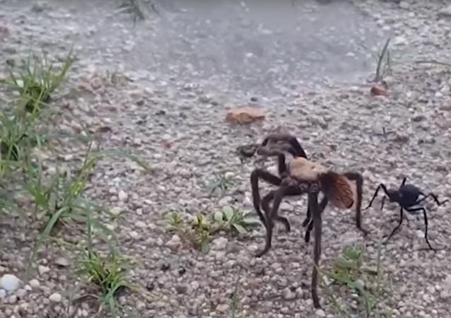 Caça à tarântula: maior vespa do mundo paralisa arranha que possui o dobro do seu tamanho