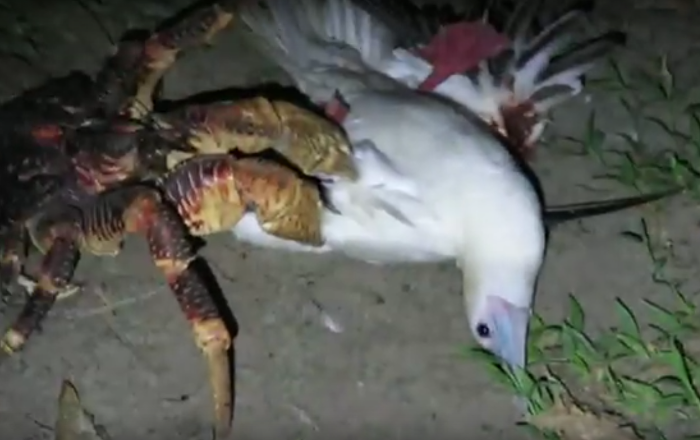 Caranguejo violentamente ataca uma ave marítima