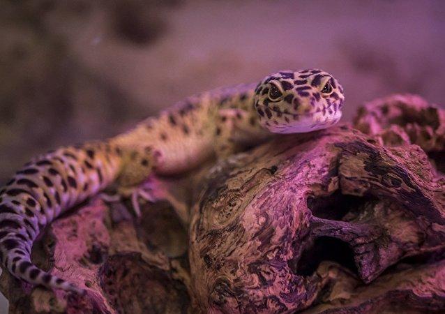 Um lagarto