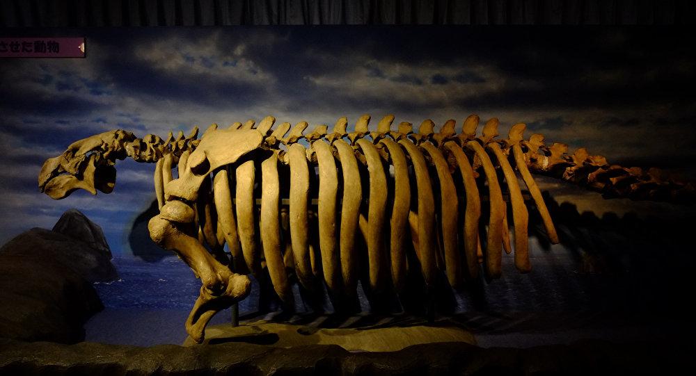 Esqueleto de vaca-marinha-de-steller