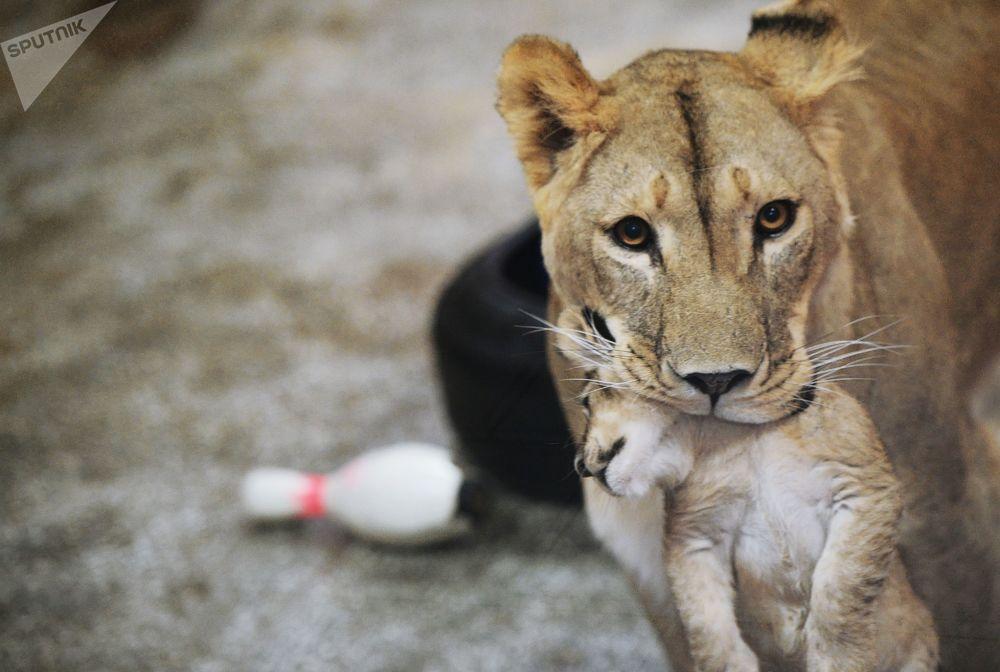 Leoa com leãozinho no Jardim Zoológico de Ekarinburgo