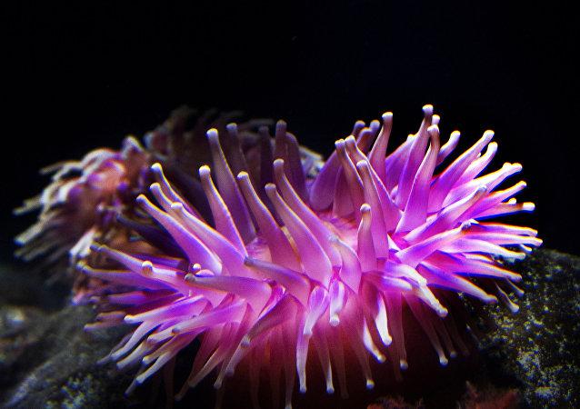Anêmona-do-mar