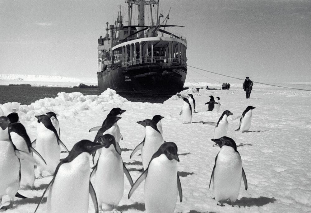 Pinguins observando o navio Ob a partir da costa, em 1965