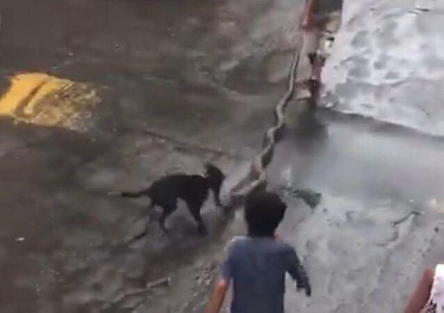 Vizinhança corre e salva cão de ataque de sucuri em Salvador