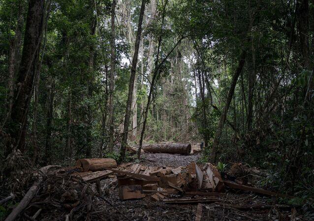 Pedaços de troncos de árvores da Amazônia derrubadas ilegalmente na reserva Renascer, no Pará