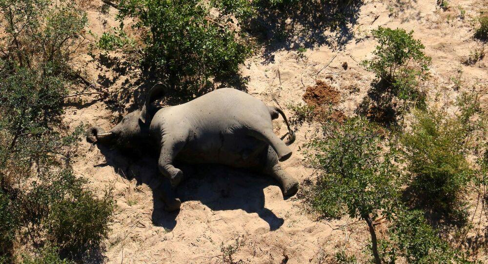 Elefantes estão sendo encontrados mortos por causas inexplicáveis, no delta do Okavango, Botsuana, de maio a junho de 2020