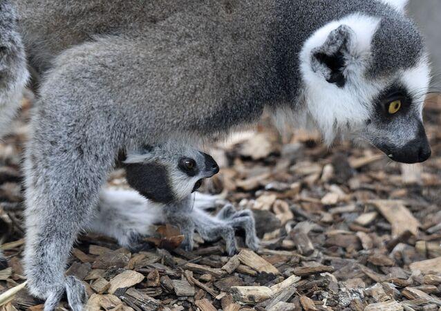 Lêmure recém-nascido com sua mãe em zoológico de Duisburg, na Alemanha