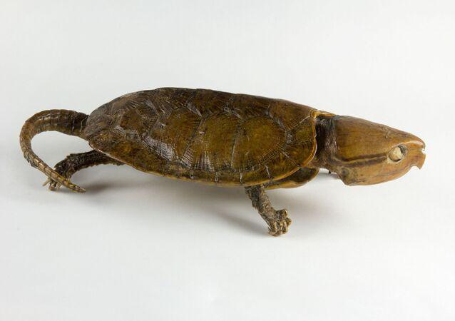 Rara tartaruga Platysternon megacephalum