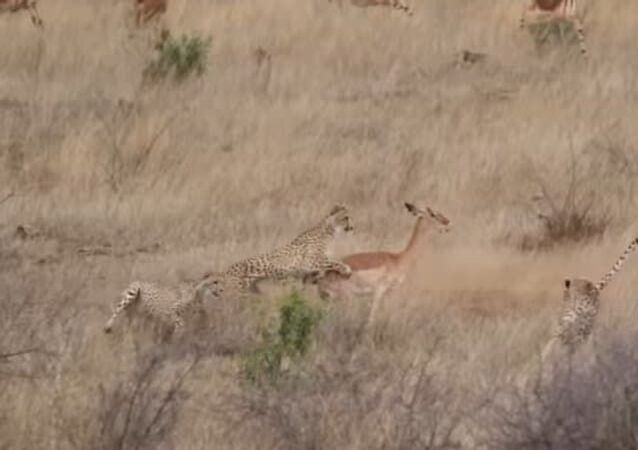 Impala faz 3 guepardos comerem poeira em perseguição mortal