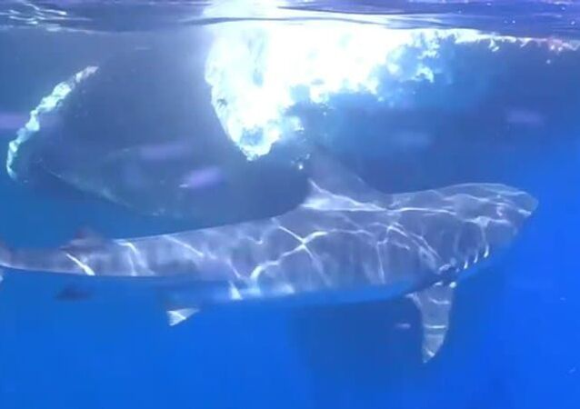 Mergulhador filma de perto tubarões devorando baleia nas Maldivas