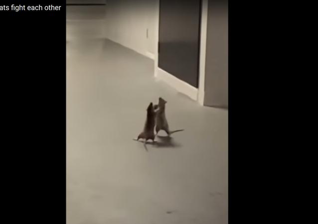 Gato espantado assiste luta de boxe entre dois ratos enfurecidos em Singapura