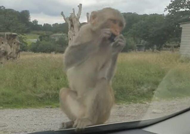 Macaco vandaliza carro no Reino Unido enquanto resto da 'gangue' observa
