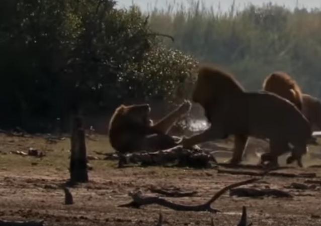 Leão é atacado