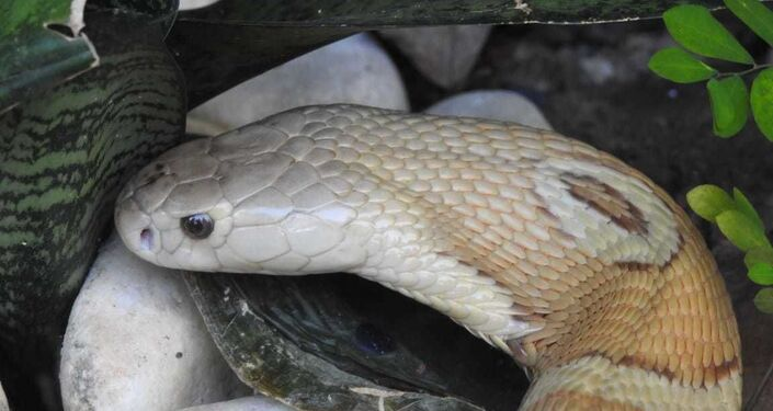 A famosa naja de Brasília, resgatada pelas autoridades, após picar o estudante que criava a serpente ilegal em casa