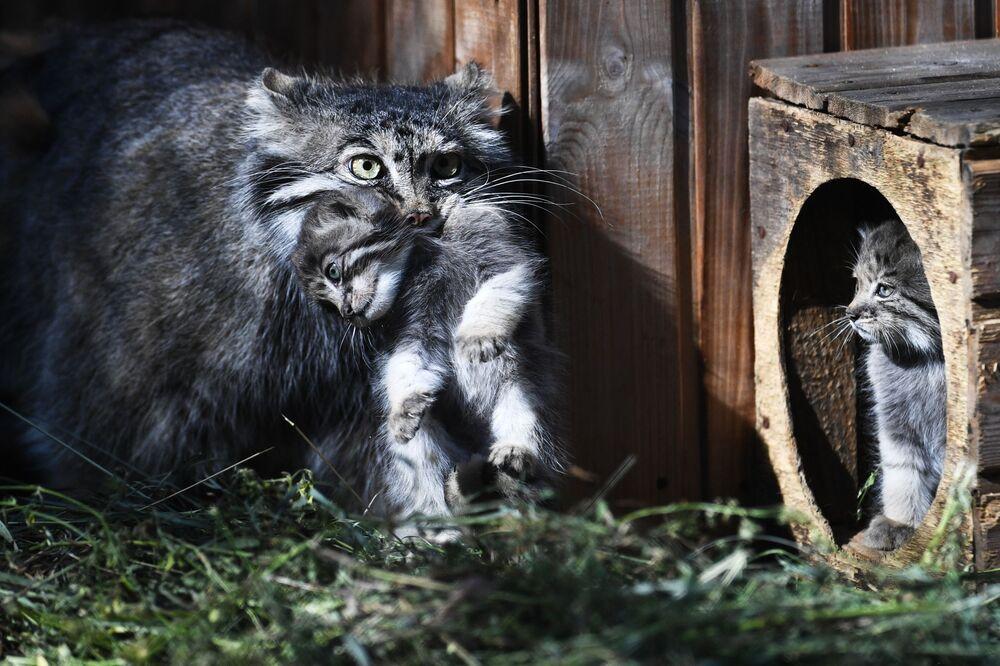 Fêmea de gato-de-pallas pega um de seus filhotes com a boca no Zoológico de Novossibirsk, na Rússia
