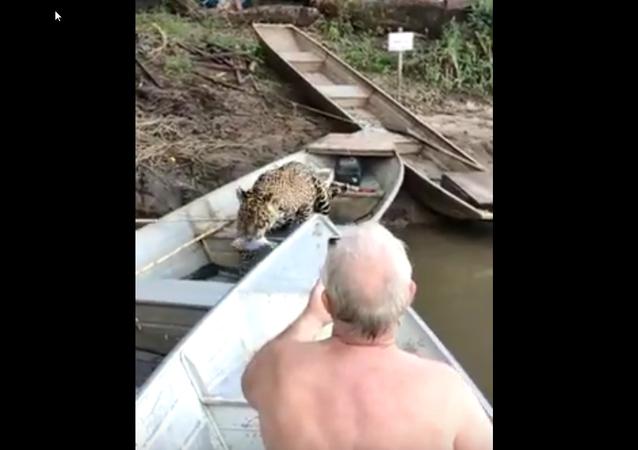 Onça-pintada não reage aos gritos de pescadores e abocanha um peixo do barco