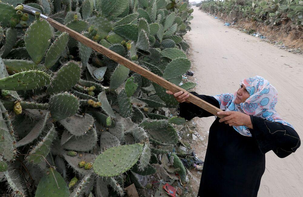 Mulher palestina colhe opúncias no sul da Faixa de Gaza