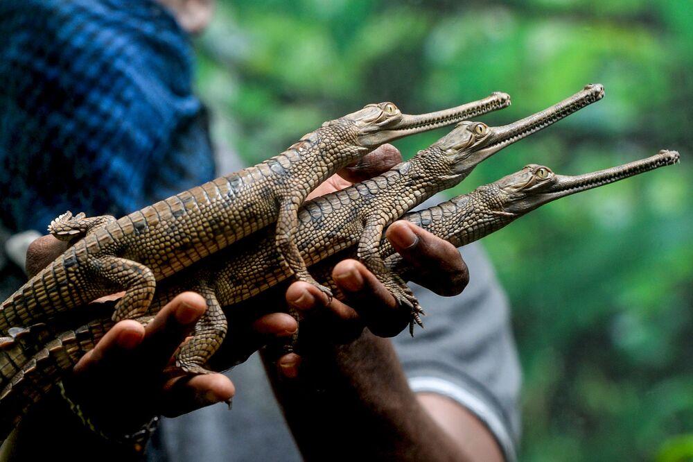 Funcionário do Parque das Cobras de Chennai, na Índia, segura pequenos crocodilos comedores de peixe recém-chocados