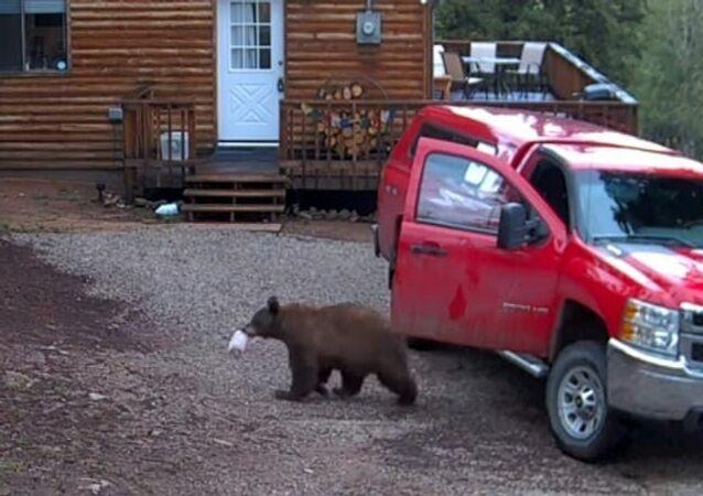 Espião da floresta: urso pega calmamente lanche de carro