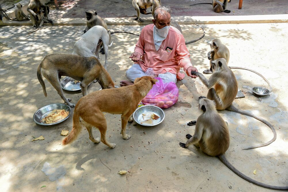 Cuidador do templo indiano Bhekhaddhari Goga Maharaj, Ishwar Desai, alimenta cachorros e macacos em Ahmedabad, Índia