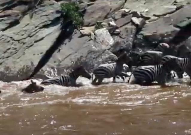 Hipopótamo ataca zebra durante travessia em rio africano