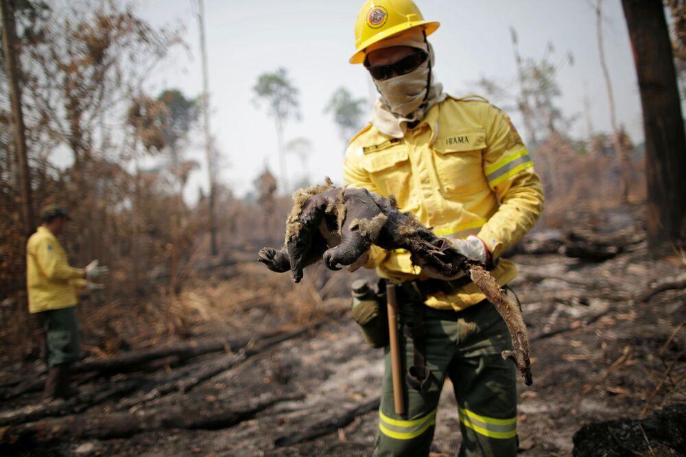 Equipe do IBAMA resgata animal queimado por incêndio na floresta amazônica