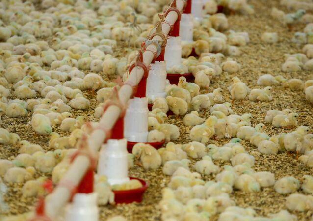 Produção de frangos na região de São Miguel do Iguaçu, no Paraná.